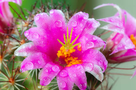 Bright pink flowers on prickly plant. Banque d'images