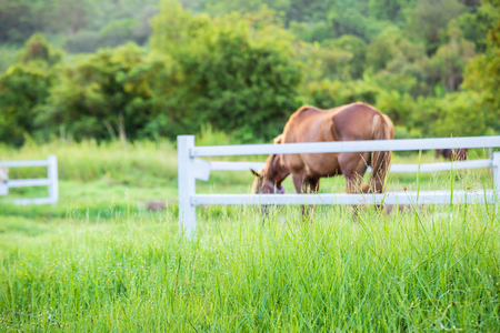 Blur horses in background and grasses with morning dew at foreground, Green meadow for horses with a stable