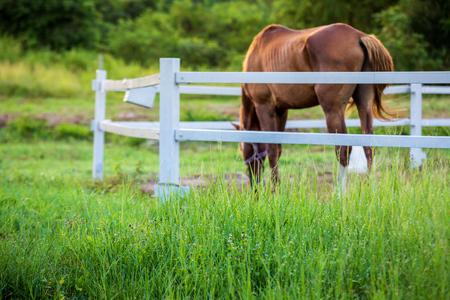Desenfoque de caballos en el fondo y pastos con rocío de la mañana en primer plano, prado verde para caballos con un establo Foto de archivo