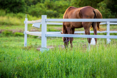 Unschärfe Pferde im Hintergrund und Gräser mit Morgentau im Vordergrund, Grüne Wiese für Pferde mit Stall Standard-Bild