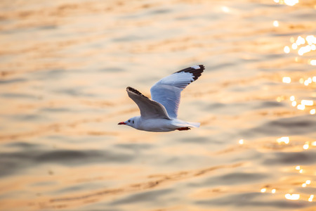 Seagull, the birds migrate from Siberia to Bangpu Samutprakhan Thailand, are feeded by traveler during sunset. fly over the sea and eating on the water surface.
