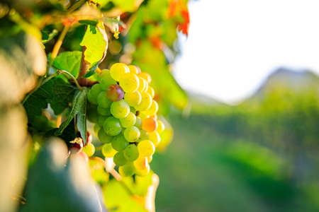 Mix Yong and Ripe grapes on vine at wineyard before harvesting, winery
