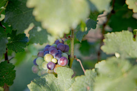 Mix Young and Ripe grapes on vine at wineyard before harvesting, winery