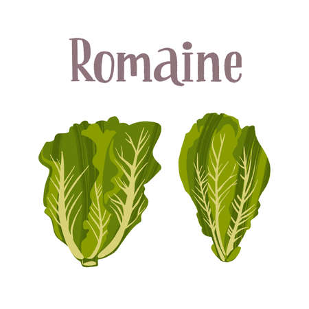 Healthy nutrition product. Fresh tasty romaine salad.