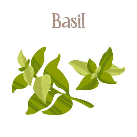 Spicy herbs for cooking. Fresh basil. Healthy nutrition product. Ilustração Vetorial