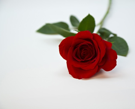 Fresh, red rose shot under soft lights photo