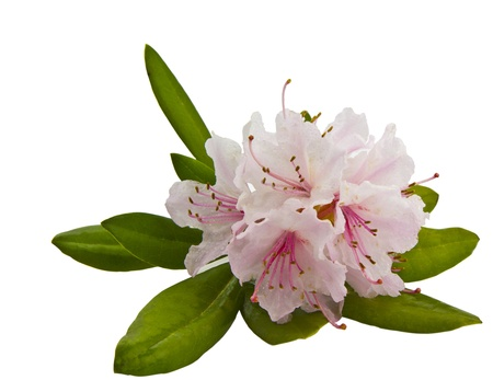 Healthy Washington State pink rhododendron in sping photo