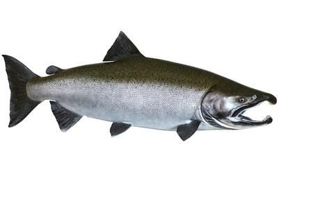 chinook: Grande salmone fresco del Pacifico su sfondo bianco