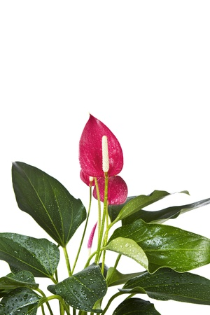 anthurium: Blooming Flamingo Flower with water drops on leafs shot on white background