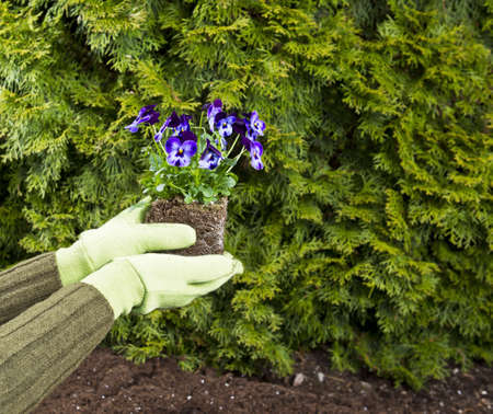 Hands, wearing gloves, hold purple flowers in flowerbed with green bushes in background