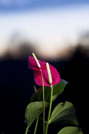 anthurium: Flamingo flowers in the eveing with fading sunset in background