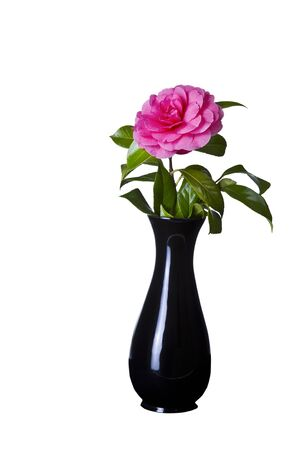 Blooming pink native flower in classic black vase on white background