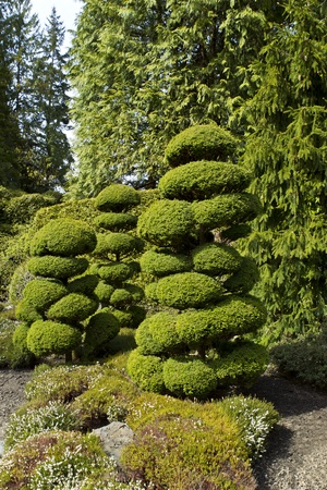 Neatly shaped trees in Japanese Garden with large evergreens in background photo