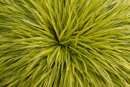 Yellow and green long grass plant in full bloom  photo