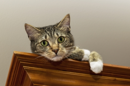 gray cat: Grey tabby cat on cherry wood shelf near ceiling