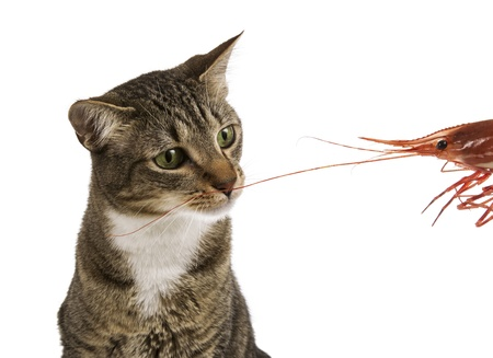smells: Young Grey male tabby cat smells large shrimp-prawn  Stock Photo