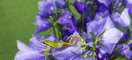 Pacific Tree Frog stretching on purple flowers with green background