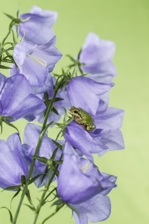 Pacific Tree Frog on purple flower with green background Stock Photo