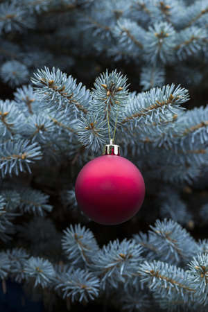 red and golden Christmas ball in real blue spruce tree  photo