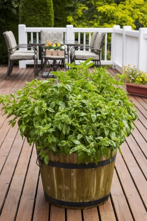 Home garden large leaf basil in barrel on wooden patio with table, chairs and trees in background  photo