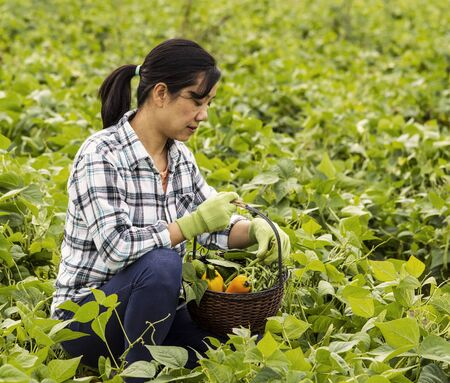 mature women checking her basket full of vegetables in bean field  photo