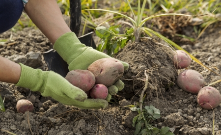 potato leaves: Working hands  holding fresh red potatoes from ground with shovel in background