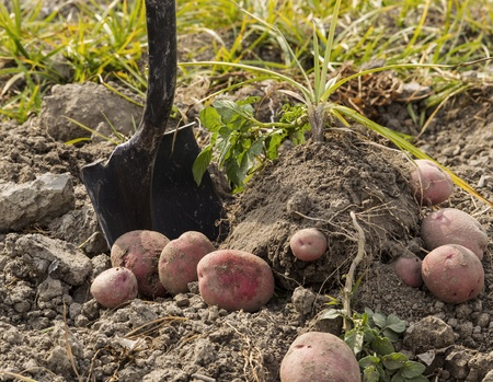 Red potatoes on ground with shovel and plants in background  Stok Fotoğraf