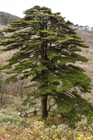 Welcome tree to Chinas Yellow Mountain National Park