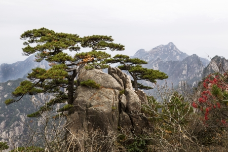 Twisted evergreen tree coming out of large rock with Yellow Mountain Valley and sky in background