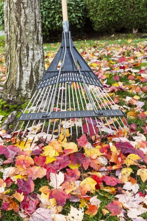 Yard Rake against maple tree with autumn leaves in background  Stock Photo - 16240949