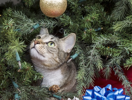 Gray Tabby cat starring at golden ornament while inside of Christmas Tree Stock Photo - 16892803