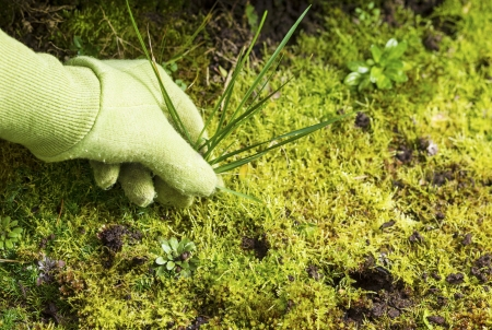 weeding: Horizontal photo of gloved hand pulling grass weed out of garden