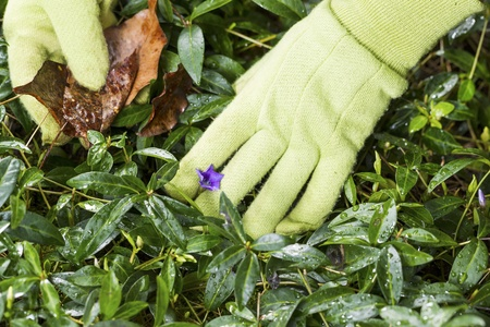 flower bed: Horizontal photo of gloved hands cleaning flower bed with old leaves in hand Stock Photo