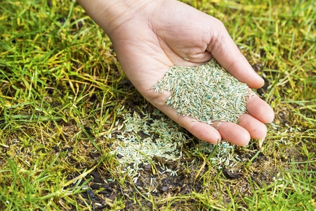 seeding: Horizontal position of Female hand holding new grass seed with bare earth soil and old grass beneath as background  Stock Photo