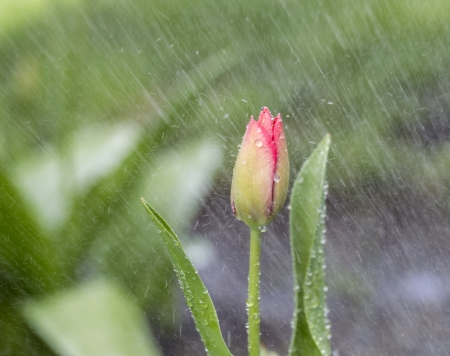 downpour: single Tulip flower in April rain shower with green background