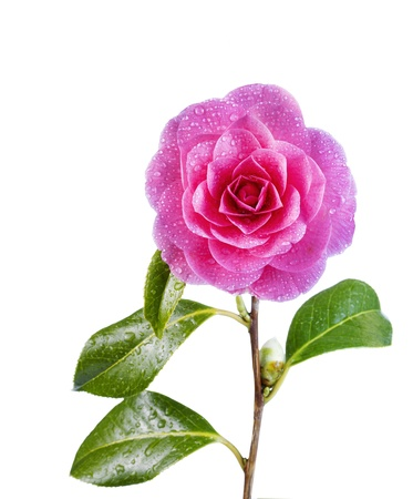 camellia: Vertical photo of single pink Camellia flower in full bloom with bud, stem and water drops isolated on white background