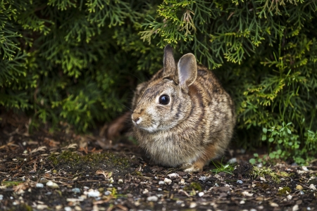 Horizontal photo of wild rabbit, with focus on eye, in flower bed during spring season