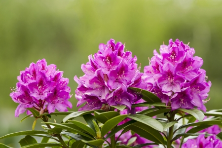 Horizontal photo of Washington State Coast Rhododendron flower located in Pacific Northwest of the United States with bright green background Stock Photo - 19806767