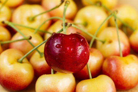 Closeup horizontal photo of a single red Rainier cherry, with water drops, in pile of golden cherries in background