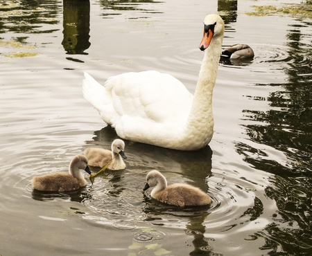 Photo of a mother goose watching her baby chicks while they learn to eat on the water Stock Photo - 20864369