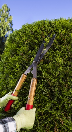 hedge clippers: Vertical photo of hands, wearing gloves, trimming the hedges via large shears with blue sky and trees in background Stock Photo