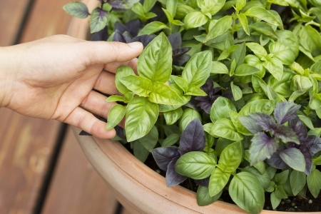 home grown: Horizontal photo of female holding fresh large Italian basil with pot and cedar in deck in background