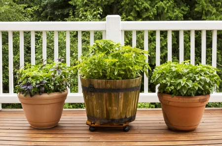 herb garden: Horizontal photo of a home herb garden consisting of large flat leaf Italian basil plants growing in pots on cedar deck with white railings and trees in background
