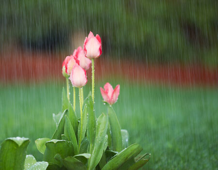 downpour: Photo of blooming pink tulips in spring time heavy rain with green grass and reddish bark