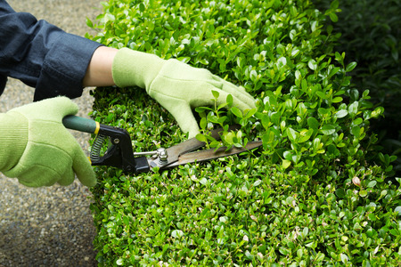 Horizontal photo of hands, wearing gloves, trimming hedges with manual shears