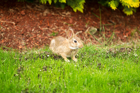 munch: Horizontal photo of young wild rabbit eating fresh grass with flowerbed in background  Stock Photo