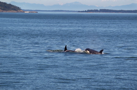 Horizontal photo of two young adult Orca Whales chasing each other in the San Juan Islands with the Cascade Mountains in the background on a beautiful summer day