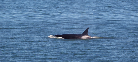 Horizontal photo of a single young adult Orca Whale, breaking the surface, within the San Juan Islands on a beautiful summer day photo