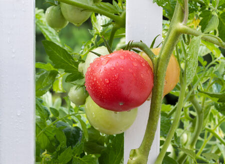 ripen: Closeup image of homegrown tomatoes, with water drops on them, on white fence beginning to ripen Stock Photo