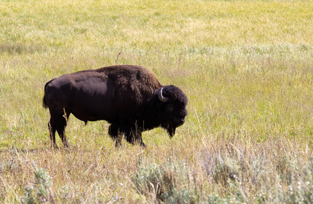 roam: Side view of a single North American Bison (Buffalo) grazing in open prairie